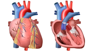 Heart and circulation outside and inside bioed online for Exterior of heart diagram