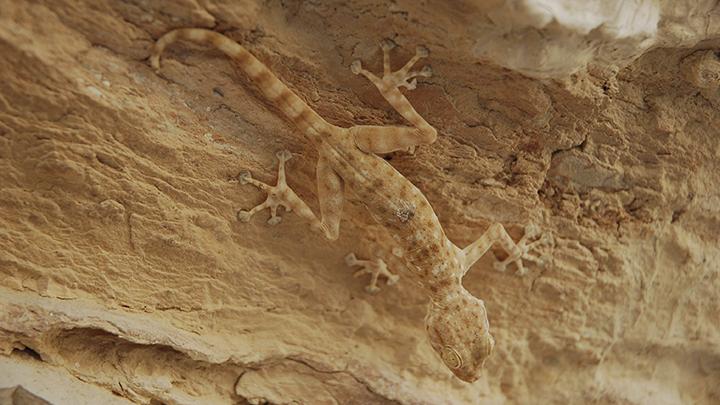 sthenodactylus (gecko), in the Judean Desert, Israel.