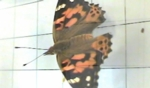 Thumbnail Image for Wing Color, Painted Lady Butterfly