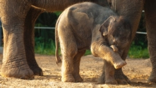 Saving Baby Elephants from a Lethal Virus